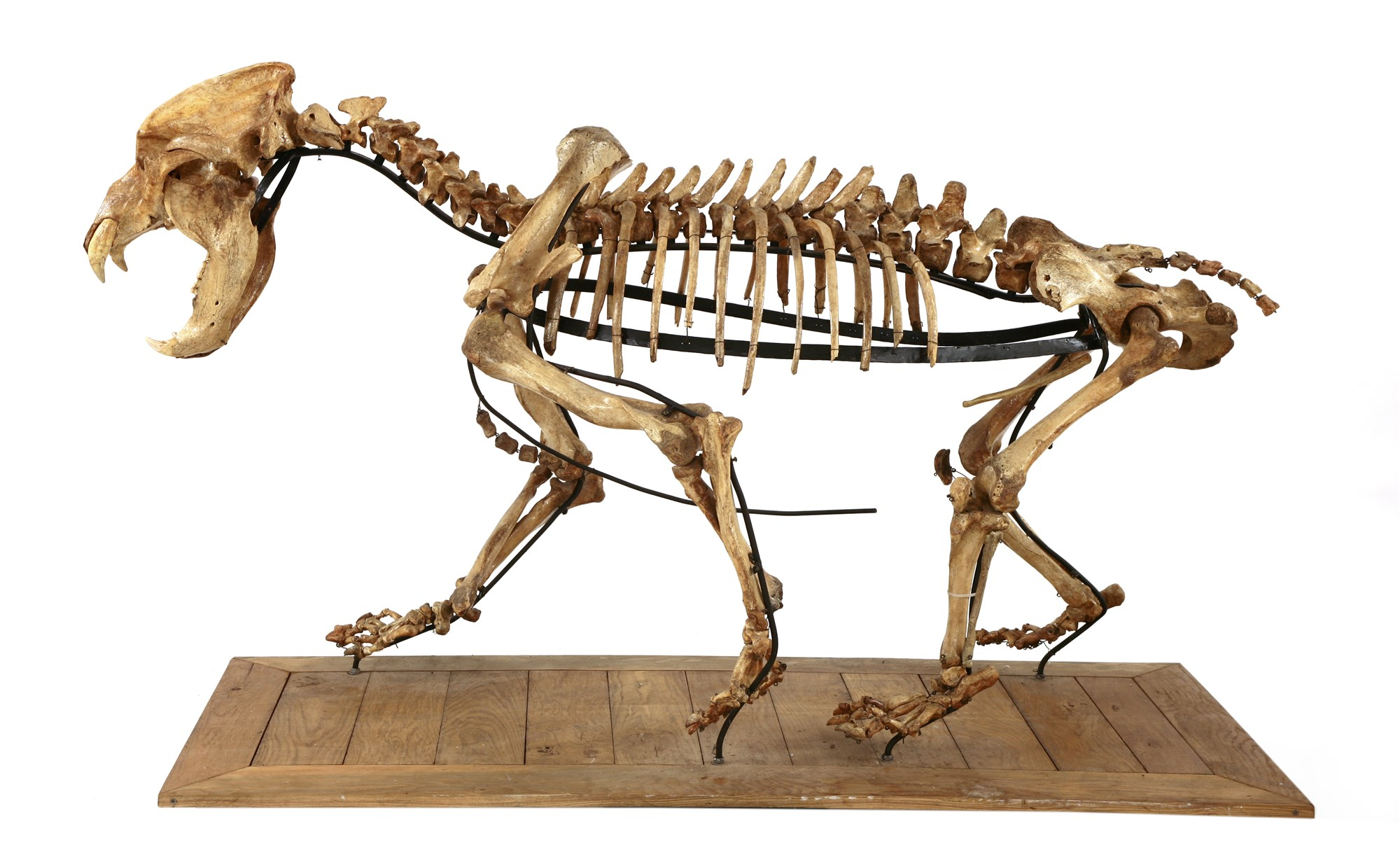 Ice Age cave bear skeleton - Out of the Ordinary