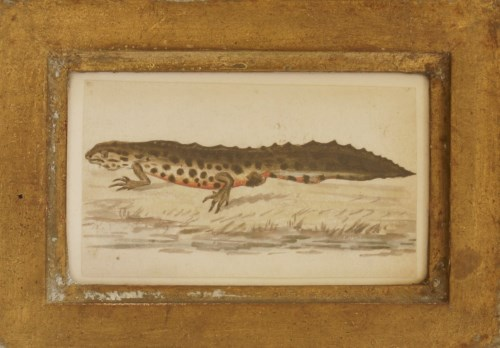 Lot 73 - Richard Polydore Nodder (fl.1793-1820) A GREAT CRESTED NEWT Pen and ink and coloured washes 5.75 x 9.5cm