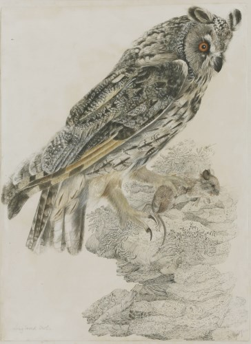 Lot 336-Robert Mitford (1781-1870) A LONG-EARED OWL Signed l.r.