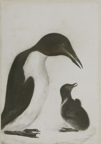 Lot 343-Prideaux John Selby (1788-1867) A GUILLEMOT AND CHICK Signed l.l.