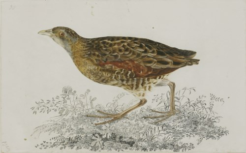 Lot 346-Prideaux John Selby (1788-1867) A CRAKE Signed l.l.