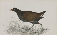 Lot 339-Robert Mitford (1781-1870) A GALLINULE Signed l.l.