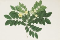 Lot 710-Janet Dick (fl.1792-1807) AN INDIAN SHRUB WITH YELLOW BLOSSOM Watercolour 36 x 52cm  A paper label verso is inscribed 'Drawn while the artist was resident in India between 1792 and 1807'.  Provenance