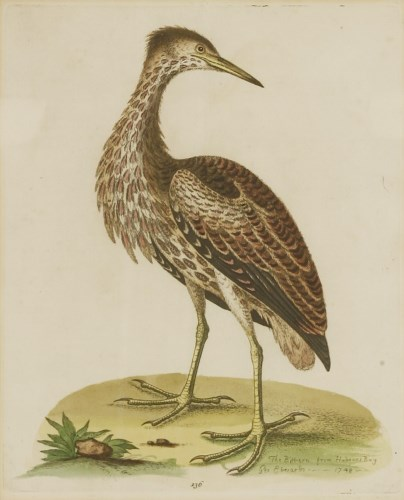Lot 701-George Edwards (1694-1773) 'THE BITTERN FROM HUDSONS BAY' Hand-coloured etching from 'Uncommon Birds'