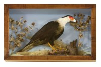 Lot 70 - A CARACARA BIRD