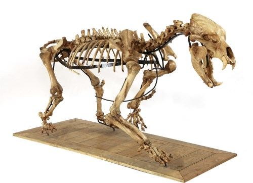 160 - A LARGE CAVE BEAR SKELETON