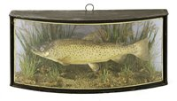 Lot 68-Taxidermy: A mounted brown trout