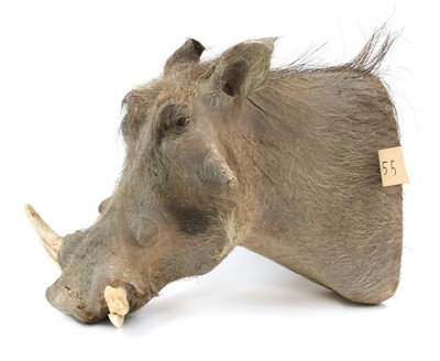 Lot 180 - A mounted warthog head with tusks