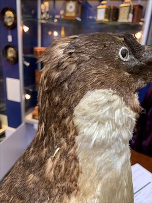 Lot 200-An important penguin specimen from the 'Terra Nova' Expedition 1910-1913: an Adélie penguin