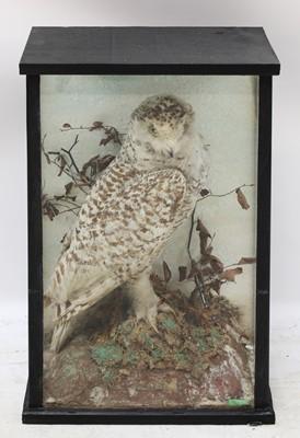 Lot 86 - SNOWY OWL