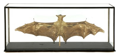 Lot 17 - HAMMERHEAD FRUIT BAT