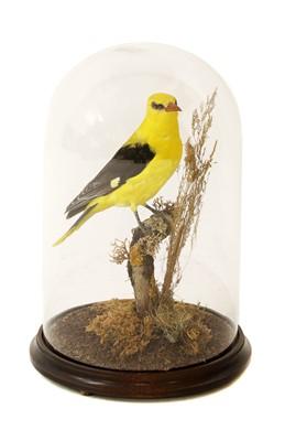Lot 129 - Taxidermy: golden oriole, male (Oriolus oriolus)