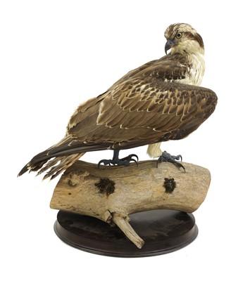 Lot 135 - Taxidermy: osprey (Pandion haliaetus)