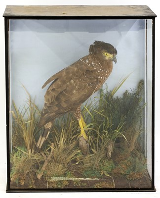Lot 139 - Taxidermy: crested serpent eagle (Spilornis cheela)
