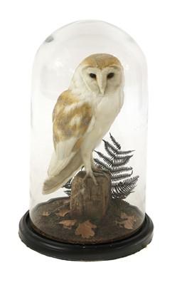 Lot 137 - Taxidermy: barn owl (Tyto alba)