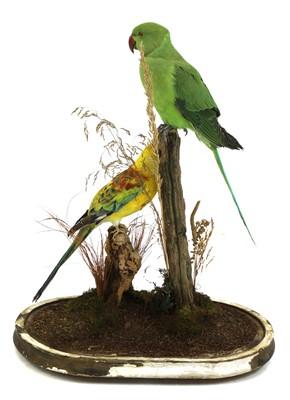 Lot 128 - Taxidermy: rose-ringed parakeet (Psittacula krameri) and hybrid sun conure (Aratinga solstitialis)