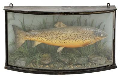 Lot 103 - Taxidermy: brown trout (Salmo trutta)