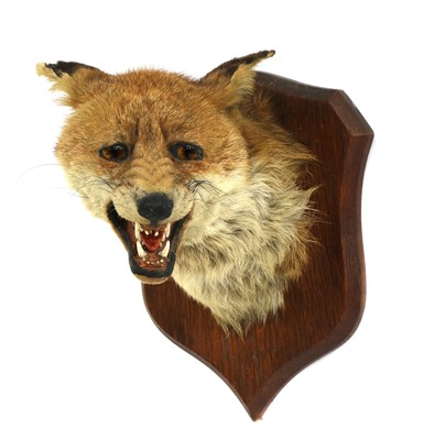 Lot 117 - Taxidermy: A fox mask by P Spicer