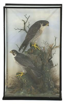 Lot 141 - Taxidermy: a pair of peregrine falcons (Falco peregrinus)