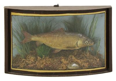 Lot 110 - Taxidermy: A carp (Cyprinus carpio)