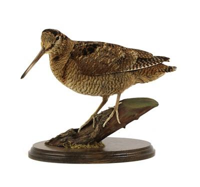 Lot 121 - Taxidermy: a woodcock (Scolopax rusticola)