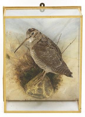 Lot 123 - Taxidermy: A Woodcock (Scolopax rusticola)