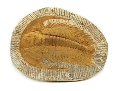 Lot 50 - A large Devonian period cambropallas trilobite