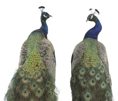 Lot 113 - An opposing pair of taxidermy peacocks