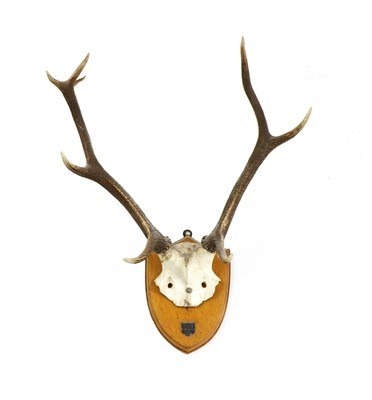 Lot 99 - A pair of mounted stag antlers